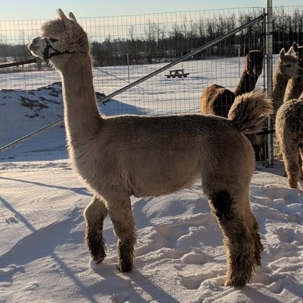 CNASF 2019 Lottery   Canadian National Alpaca Sale and Futurity